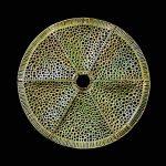 #118. Diatom G, 2.5″ x 12.5″